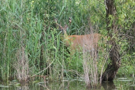deer on Humber river