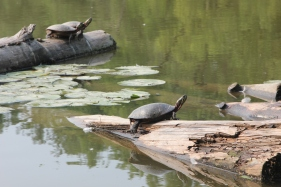 turtles on Humber
